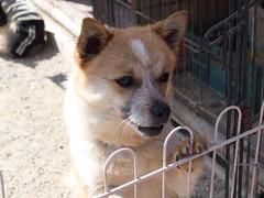 puppy(0.0), dog breed(1.0), animal(1.0), akita inu(1.0), akita(1.0), dog(1.0), shiba inu(1.0), pet(1.0), street dog(1.0), shikoku(1.0), greenland dog(1.0), finnish spitz(1.0), korean jindo dog(1.0), norwegian lundehund(1.0), carnivoran(1.0), icelandic sheepdog(1.0),