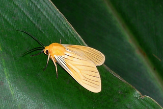 Baños - Black-veined Yellow
