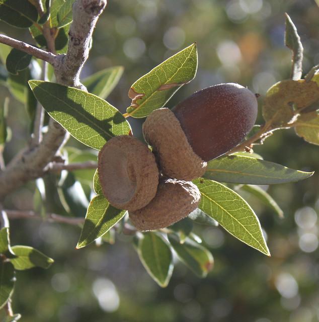 Planting Live Oak Tree Acorns : Acorns flickr photo sharing