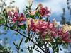 Bauhinia monandra. Dwarf Orchid Tree 'Napoleon's Plume' by Linda DV