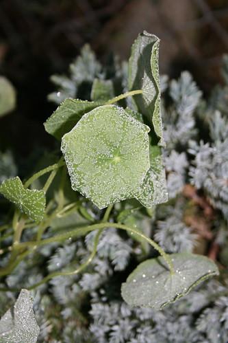 Frosty nasturtiums