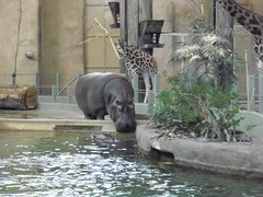 Meeting of two hippos