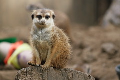 animal, mammal, fauna, whiskers, meerkat,