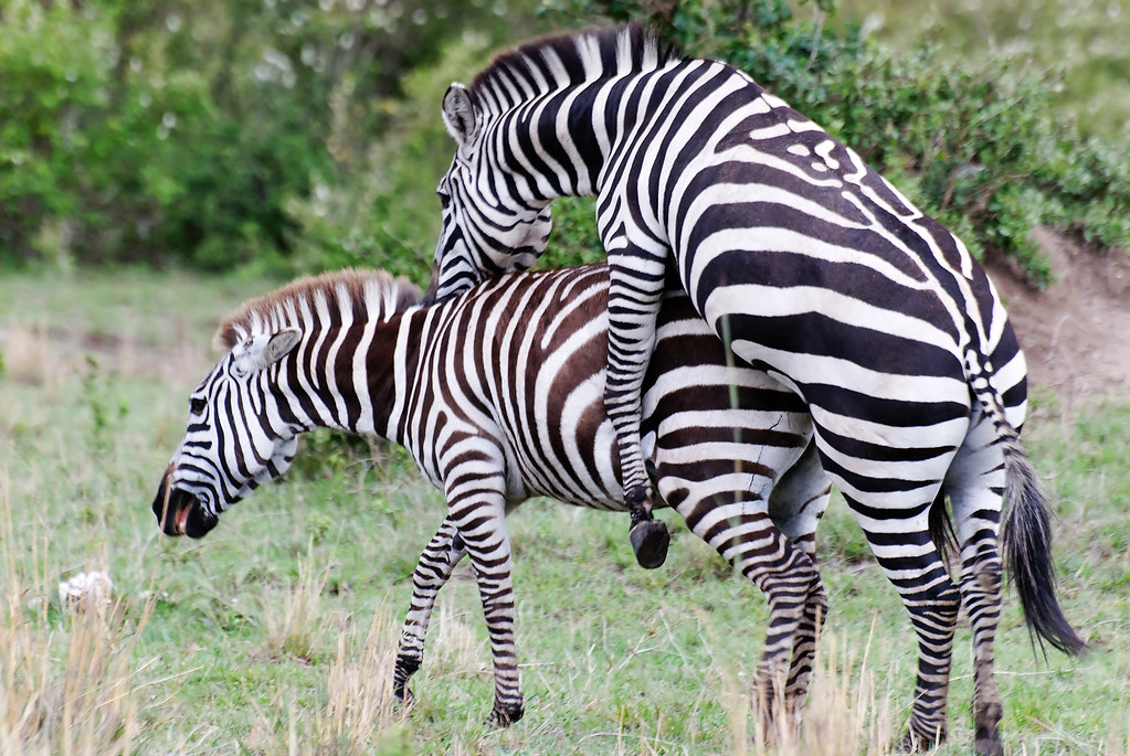 Zebras Mating Zebras Mating Maasai Mara National Reserve Flickr