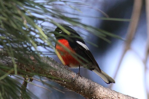 Painted Redstart--Los Angeles, CA