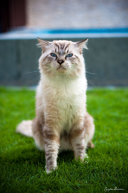 What Is The Largest Cat Breed - Cats Types