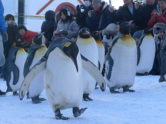 animal(1.0), winter(1.0), penguin(1.0), flightless bird(1.0), king penguin(1.0), bird(1.0),