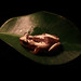 Small photo of Striped Spiny Reed Frog - Afrixalus dorsalis
