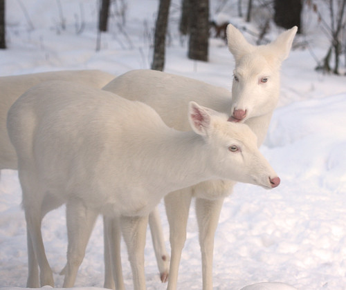 Albino Whitetail Deer Tender Loving Care