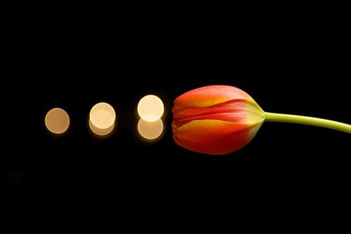 flower nikon tulips bokeh softbox project365 pocketwizard strobist d700 sb900 2470mmf28g 3652010