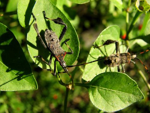 insect pepper us chili texas sucker yoakum pequin