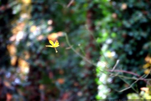 falling leaf    MG 8497