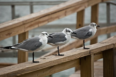 One legged Sea Gulls