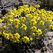Common Woolly Sunflower - Photo (c) Lomatium, some rights reserved (CC BY-NC)
