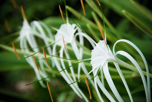 Seychelles Flora  - Spider Lily (Hymenocallis)
