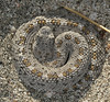 "<a href=""http://www.flickr.com/photos/25980517@N03/4289392087/"">Photo of Crotalus cerastes by Lynette Schimming</a>"