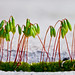 Sporophyte Sunday by ~dgies