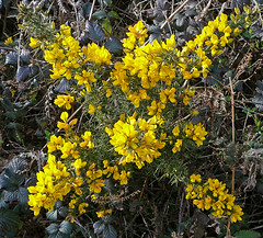 shrub(0.0), produce(0.0), evergreen(1.0), flower(1.0), yellow(1.0), plant(1.0), subshrub(1.0), wildflower(1.0), flora(1.0), rue(1.0),