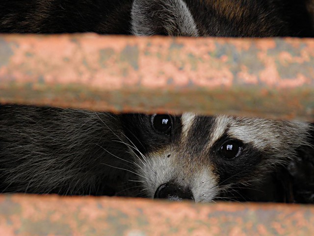 Raccoon in drain