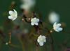 Gymnosporia mossambicensis by zimbart