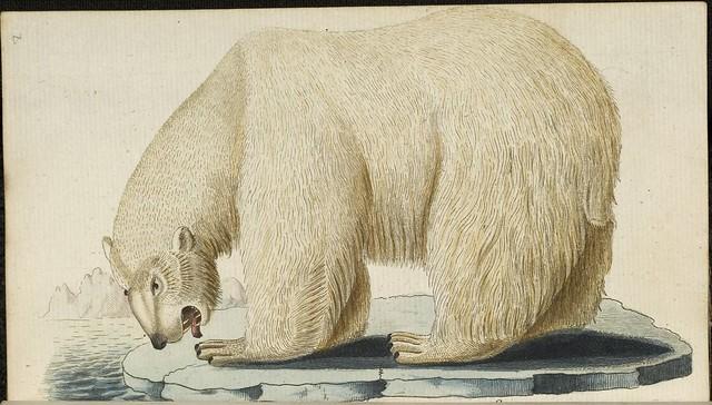 Polar Bear (Bechstein, 1803)