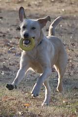 dog breed, animal, dog, canaan dog, pet, mammal,