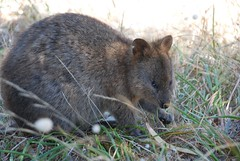 wallaby(0.0), peccary(0.0), wombat(0.0), animal(1.0), marsupial(1.0), mammal(1.0), fauna(1.0), whiskers(1.0), wildlife(1.0),