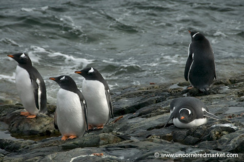 Gentoo Penguins on the Lookout - Antarctica by uncorneredmarket