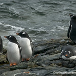 Gentoo Penguins on the Lookout - Antarctica