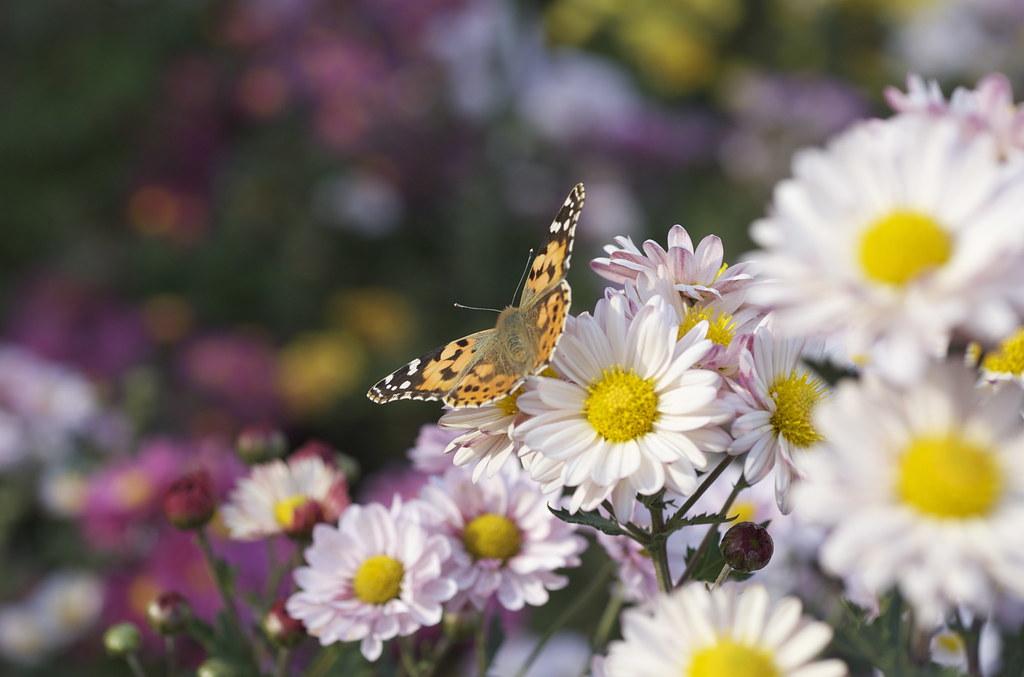蝶々 2009/11/08 DSC_6987