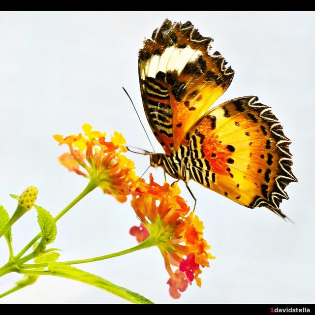 malay lacewing {cethosia hypsea hypsina}