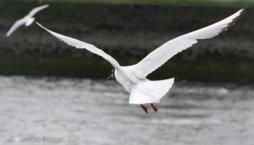 ireland galway water seagull 2009 coth rivercorrib topseven underthebigsky irelandinmyheart vigilantphotographersunite vpu2 vpu3 vpu4 vpu5 vpu6 vpu7 vpu9