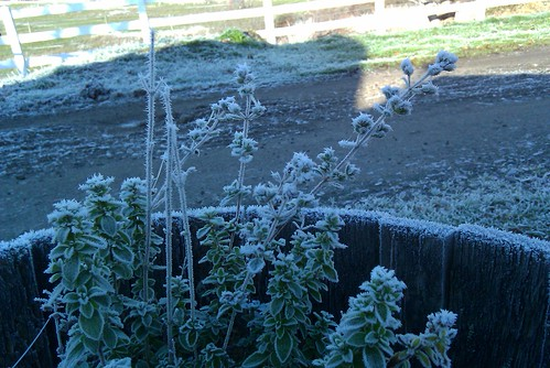 Frosty oregano