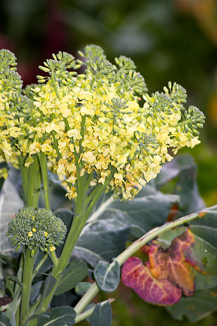 Blooming Broccoli | Flickr - Photo Sharing!