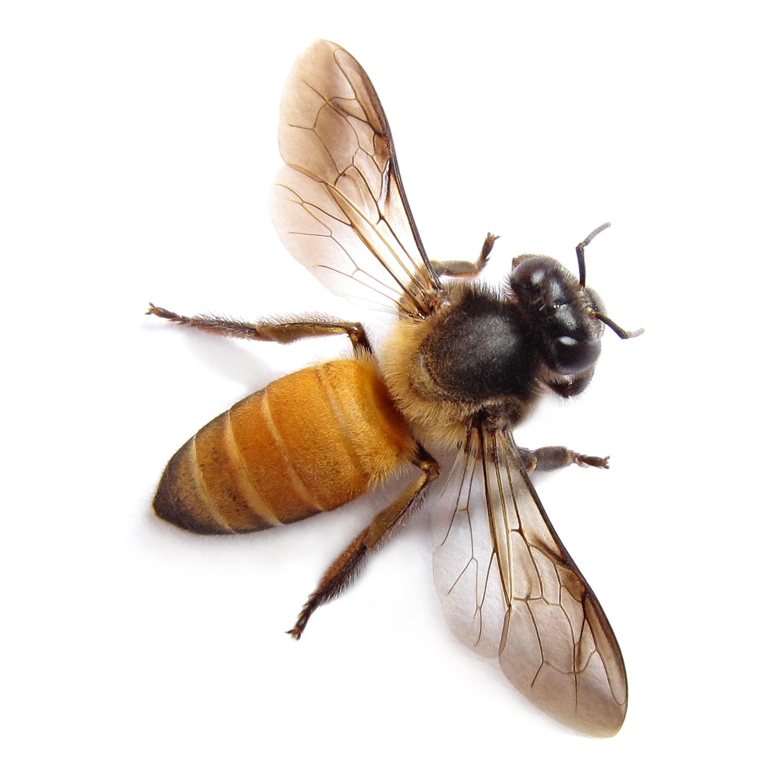 Honey Bee Macro Flickr Photo Sharing