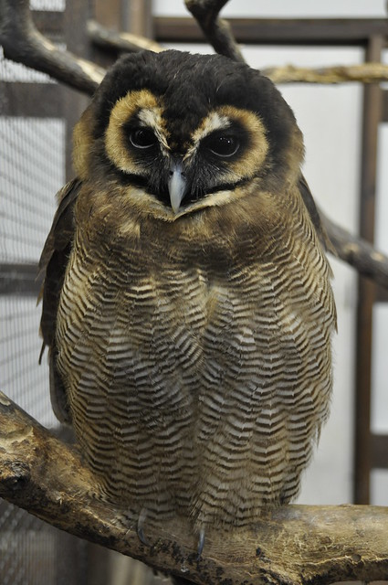Brown wood owl - Strix leptogrammica - オオフクロウ - 掛川花鳥園 kakegawa-kachoen Japan