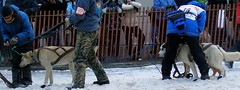 4412634637 13a07bb511 m How do entrants and their dogs train for the Iditarod race?