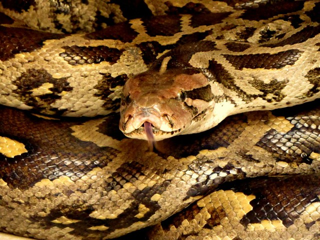 Indian Rock Python Python Molurus Molurus Flickr