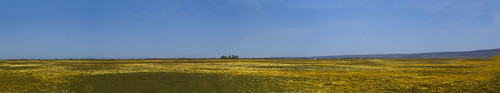 california flowers panorama nature northerncalifornia pano wildflowers goldfields champbass2 vinaplains tidytps