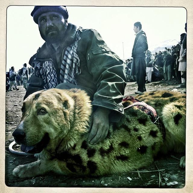 Afghan Tiger Dog Breed