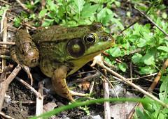 animal, amphibian, toad, frog, green, fauna, ranidae, bullfrog, wildlife,