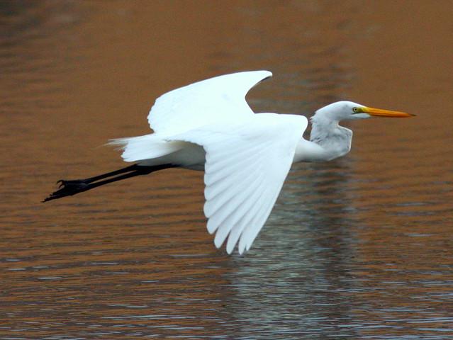 Great Egret Flying 2-20091129
