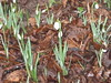 1st Snowdrops of 2010?