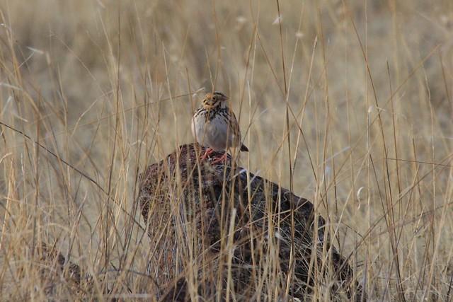 Header of Ammodramus bairdii