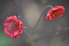 GEUM 'Flowers of Passion'