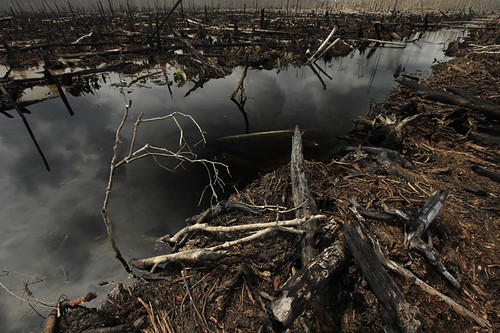 Burnt roots stick out of wet ground in the destroyed peatland rainforest outside the village of Teluk Meranti