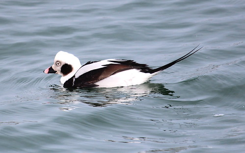 Long tailed duck by ricmcarthur