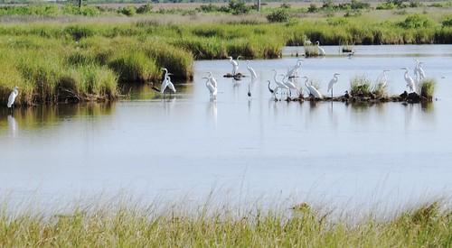 bayoulaurier louisiana la байулорье луизиана birds landscape outdoor поамерике crossamerica2016 travel mississippiriverdelta fork рукав дельтамиссисипиривер