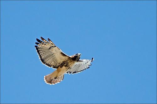 ontario bird hawk brampton redtailedhawk buteojamaicensis