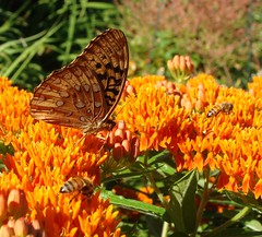Butterflyweed, and other milkweeds